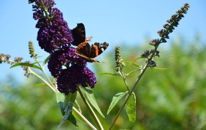 Budleja Dawida motyle