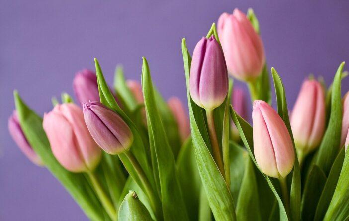 Najpiękniejsze tulipany
