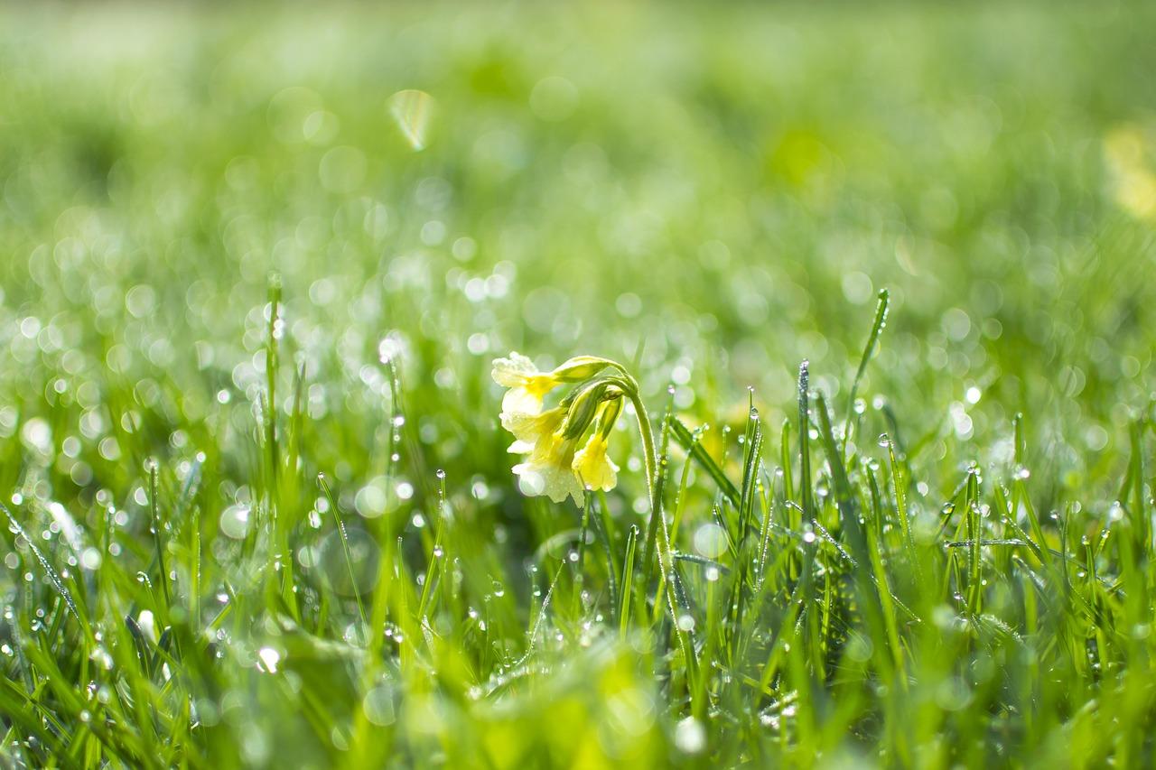 Wiosenne kwiaty pierwiosnek