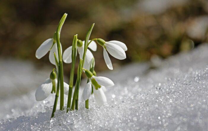 Zimowe kwiaty, czyli rośliny kwitnące zimą