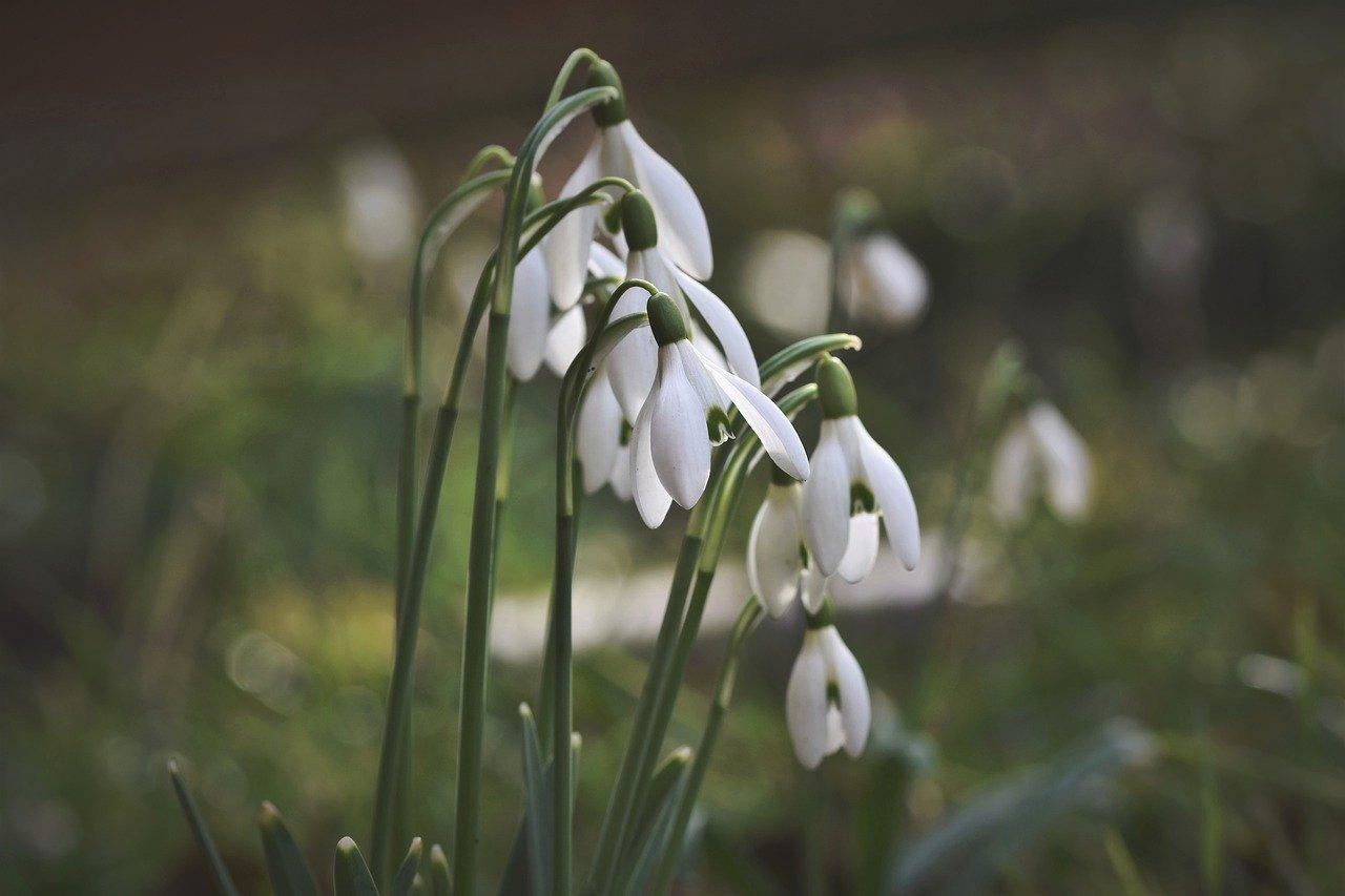 Przedwiosenne kwiaty, Pierwsze wiosenne kwiaty, przebiśniegi