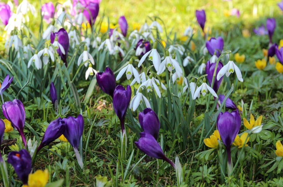 Pierwsze kwiaty wiosny – 3 przedwiosenne rośliny
