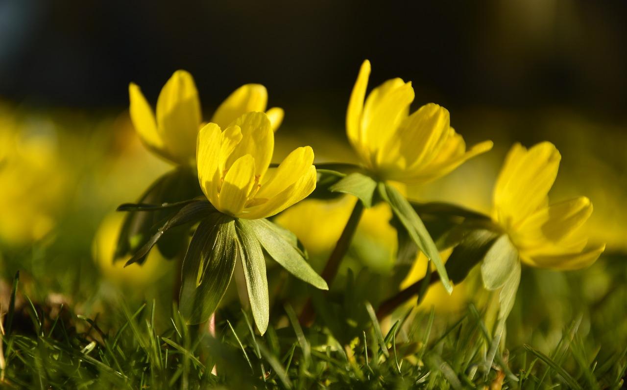 Przedwiosenne kwiaty, ranniki