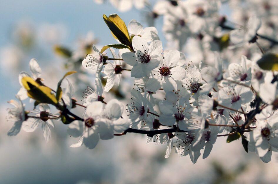 Kwiat śliwy: ciekawostki i cytaty z poezji azjatyckiej