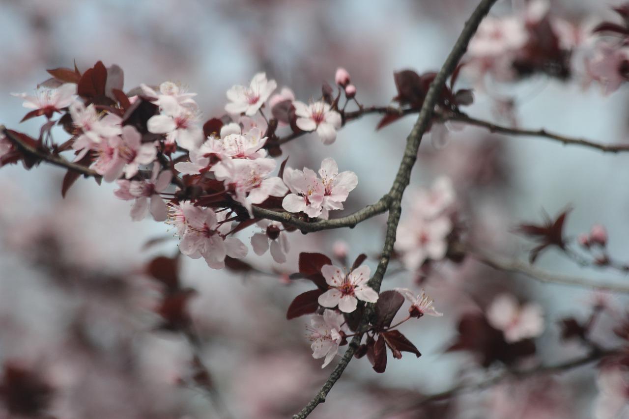 kwiat śliwy znaczenie
