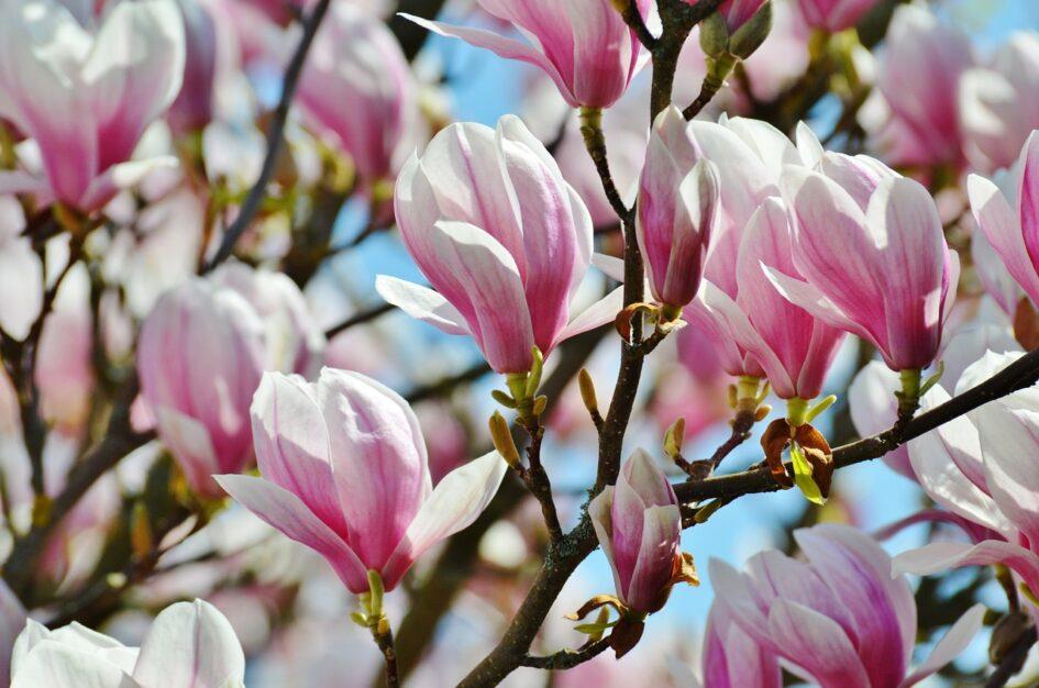 Magnolia: ciekawostki, zastosowanie, symbolika