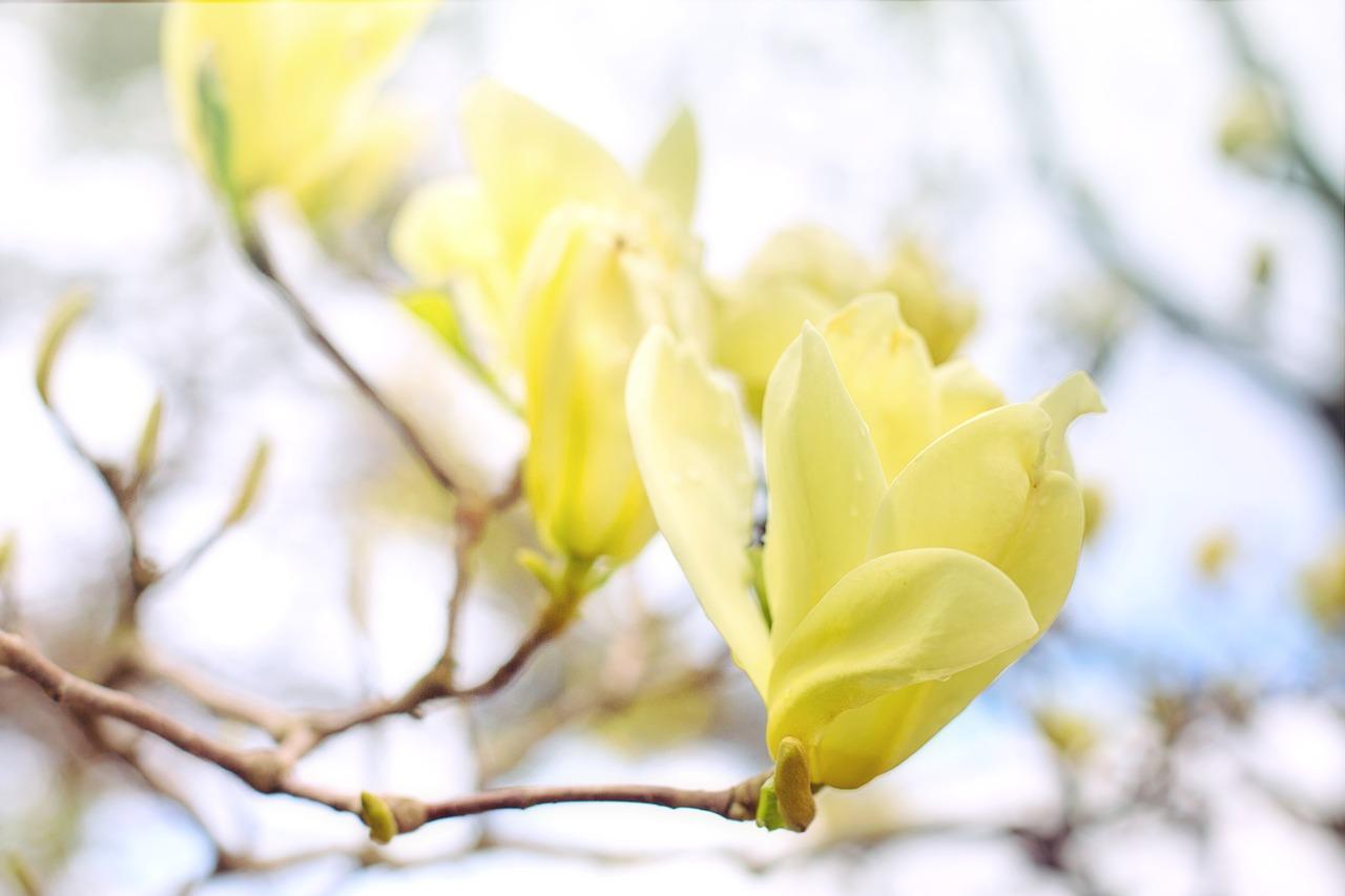 Magnolia drzewo