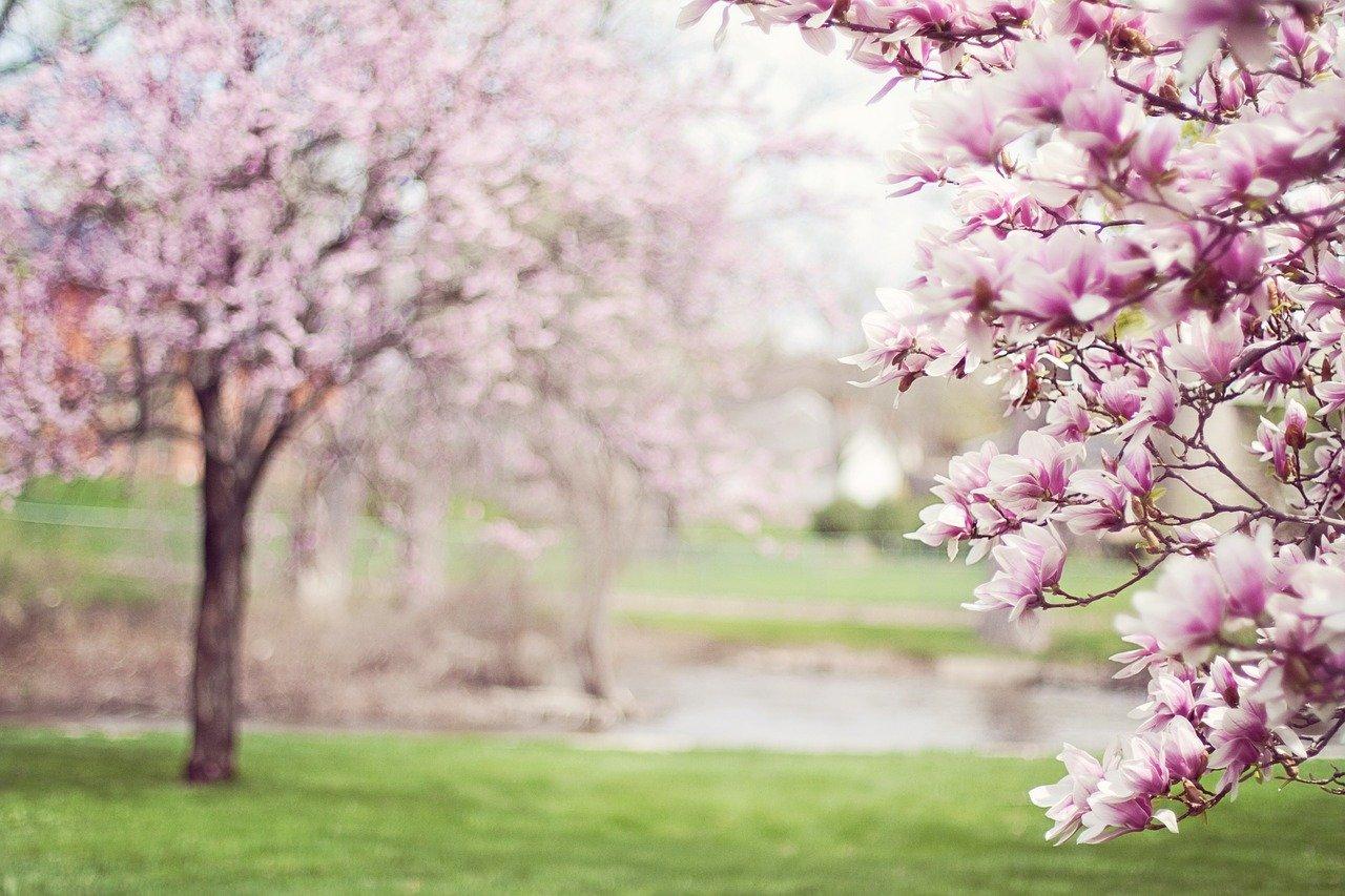 rozkwitają magnolie