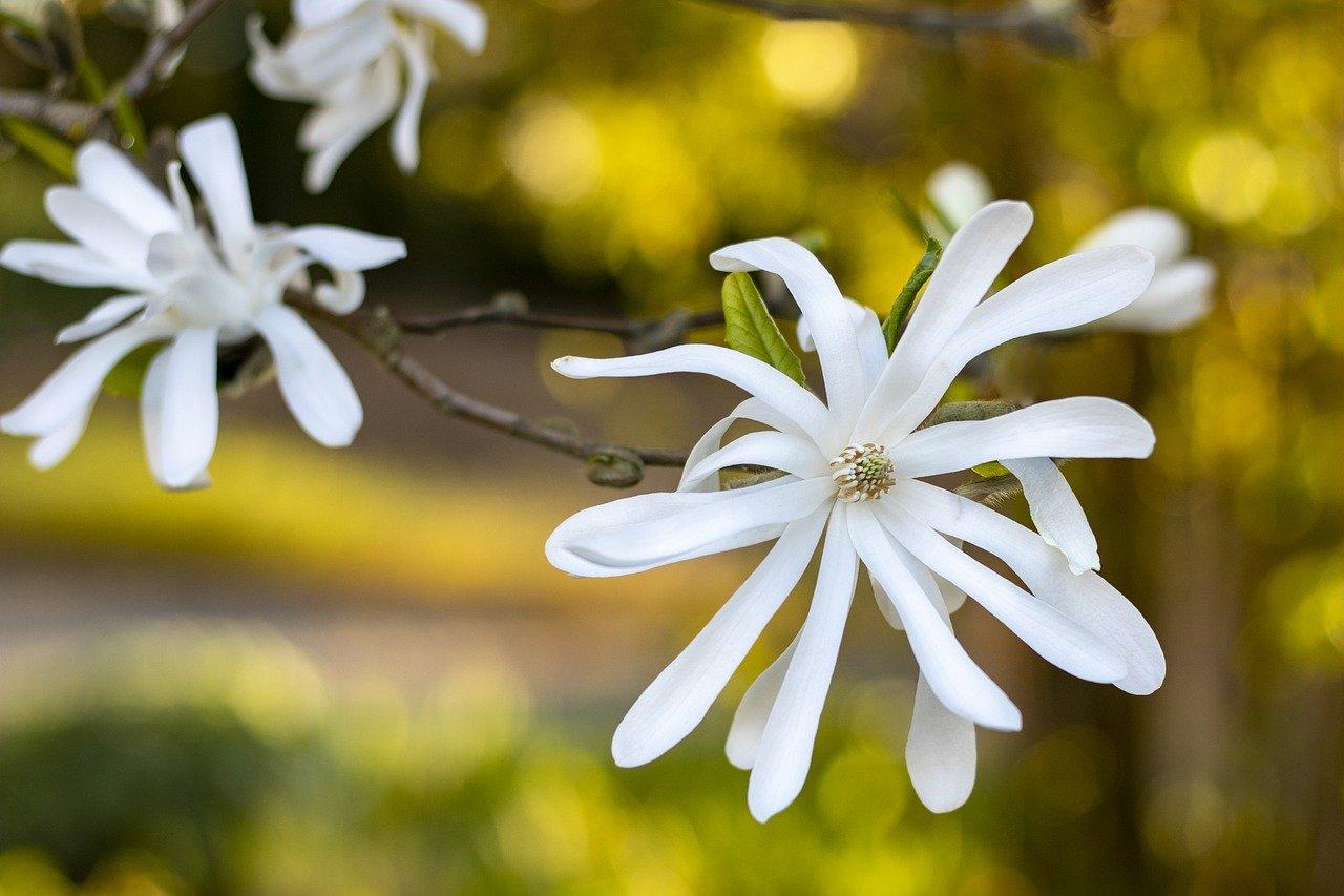Odmiany magnolii
