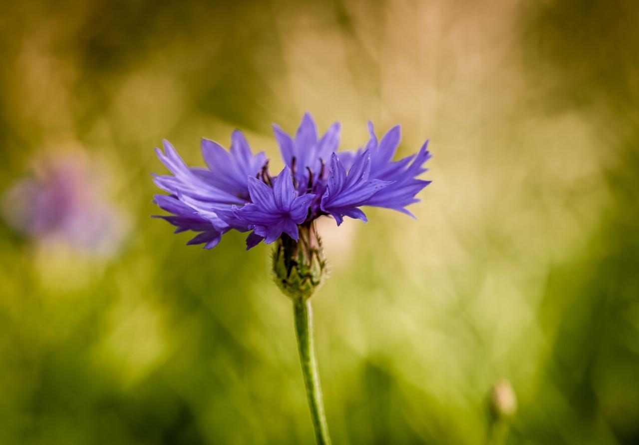 Chaber – roślina wciekawostkach icytatach poetyckich