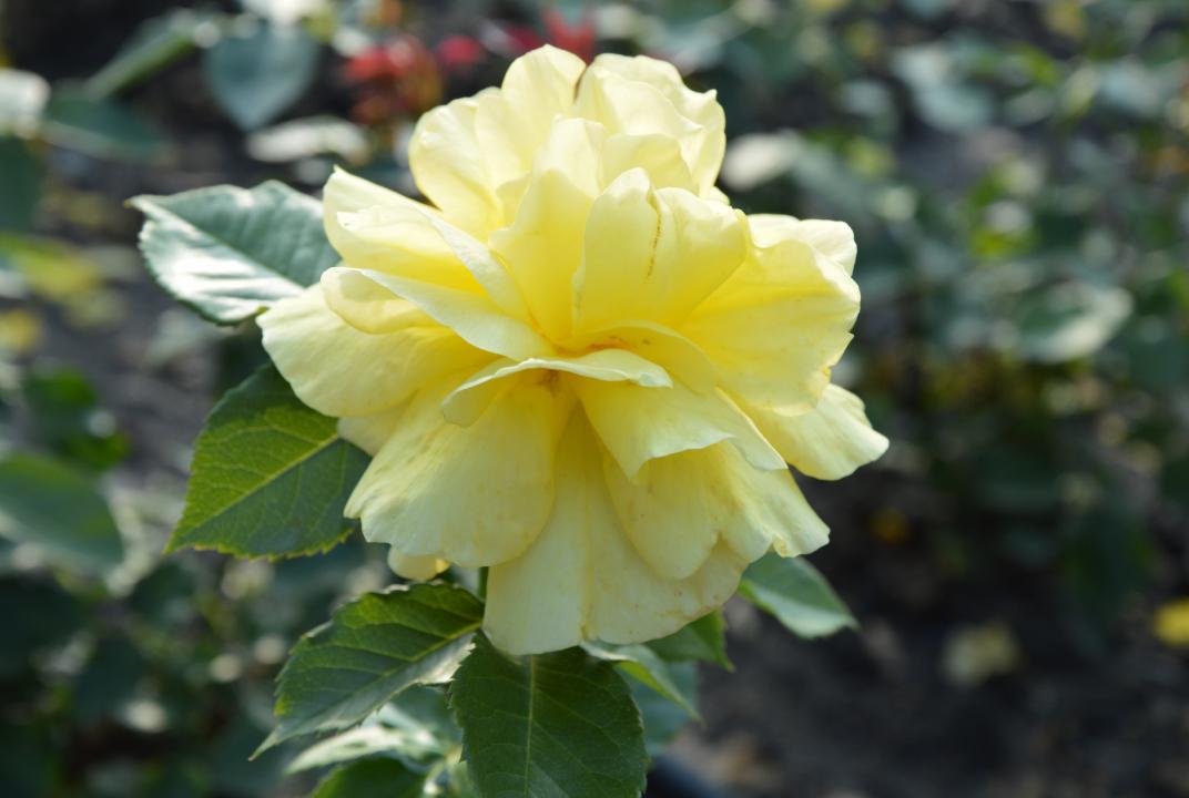Szczecińska Różanka