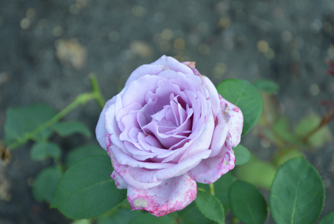 Rosengarten – Różanka
