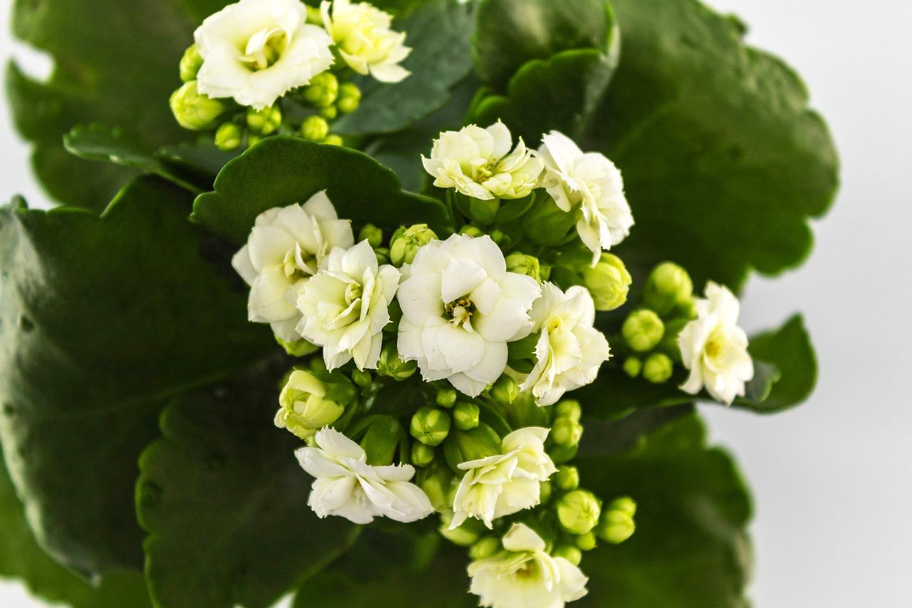 Kwiat kalanchoe