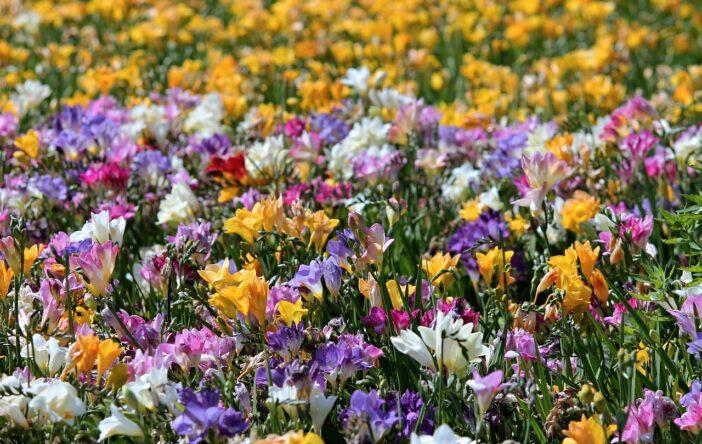 Frezje: ciekawostki o subtelnych kwiatach