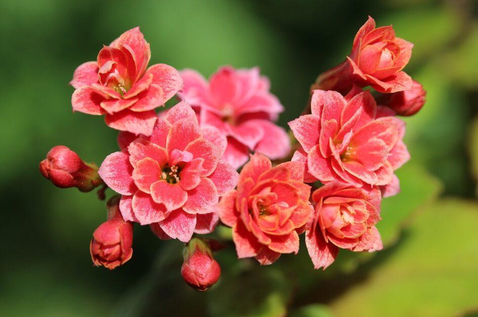 Kalanchoe: ciekawostki o roślinie doniczkowej