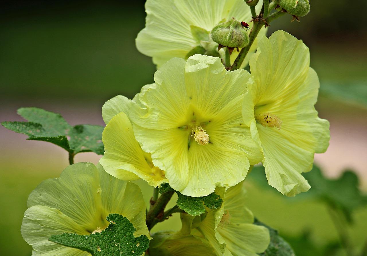 Kwiat wiejski malwa