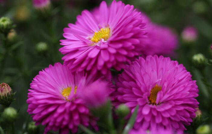 Astry: ciekawostki i cytaty o gwiezdnych kwiatach