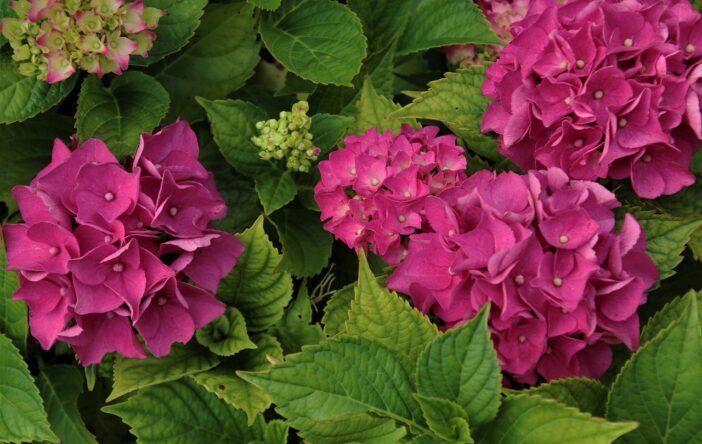 Hortensja, Hydrangea