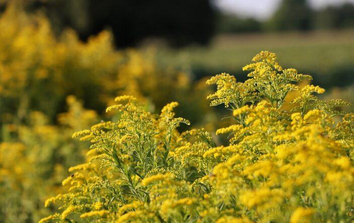 Nawłoć – polska mimoza w ciekawostkach