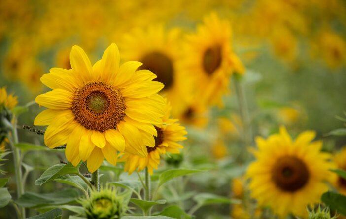 słonecznik kwiat