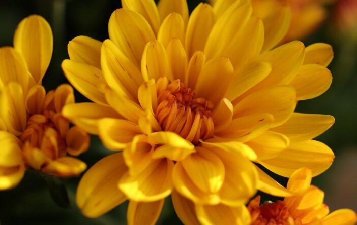 Chryzantemy – ciekawostki o jesiennych kwiatach